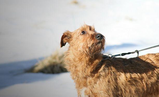Koira saattaa myös sännätä metsästysviettinsä pohjilta esimerkiksi jäniksen tai peuran perään.Kuvituskuva.