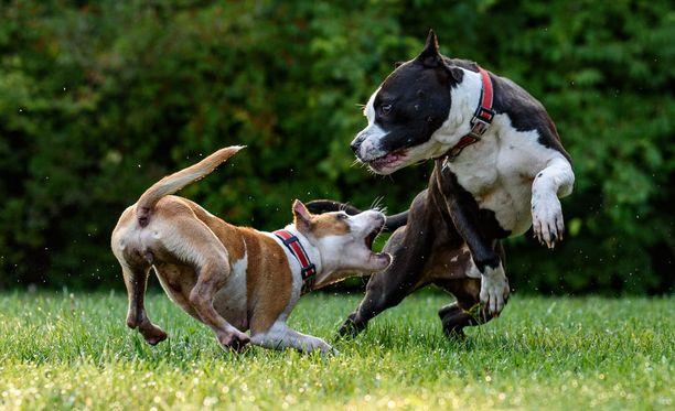 Hyökkäävyyttä esiintyy erityisen paljon vartioimiseen jalostetuilla koirilla.