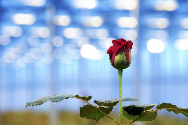 Tänään moni kovasta urakasta suoriutunut saa ruusun jos toisenkin. Onnea kaikille valmistuneille!