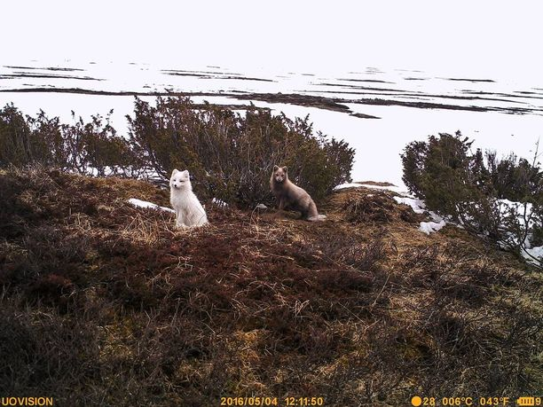 Naalilla on poikkeuksellisen paksu karvapeite ja jalka-anturatkin on eristetty. Ketulle laji ei kuitenkaan pärjää, mikäli kettukin selviää ilmaston haasteista.