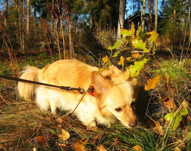 Nipsu-koira oli paikalla löydön aikaan.