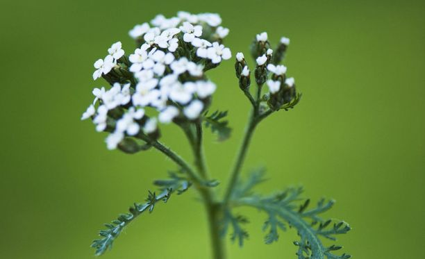 Siankärsämö on vaatimaton kesän kukkija.