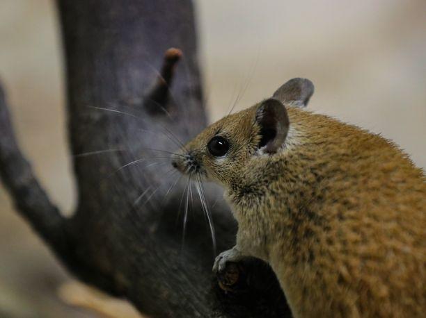 Biologia. Kuvan hiiri ei osallistunut tutkimukseen, ja koska kuva on otettu Frankfurtin eläintarhassa 2018, tämä eläin ei todennäköisesti enää ehdi hyötyä uusimmista tutkimustuloksista.