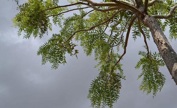Boswellia serrata -puusta saadaan nestettä, jota käytetään nivelten hoidossa.