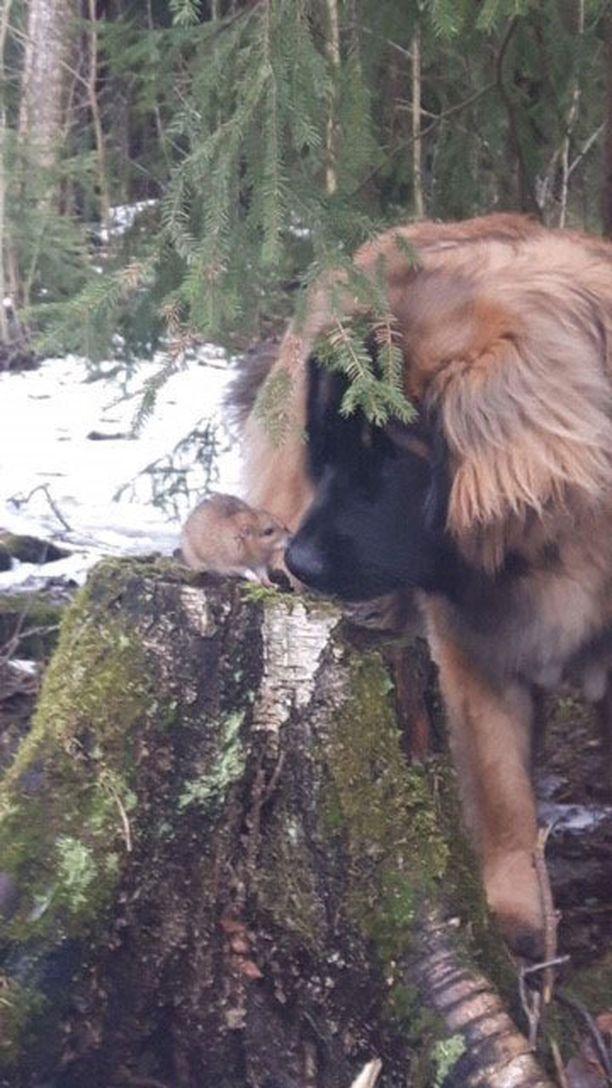 Leonberginkoira Kyösti ja metsässä tavattu rotta ystävystyivät.