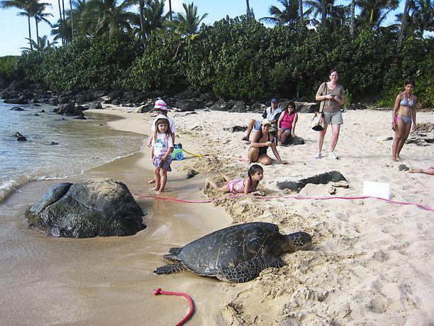 Laniakea Beachilla asuu merikilpikonnia. Kyseinen yksilö on 35-vuotias ja 113-kiloinen uros, joka tottelee nimeä Lopeka O Holokai. Erikoistuntomerkkinä on vasemman takajalan hainpuremajäljet.
