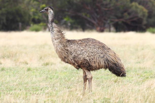 Emu julistettiin suojelluksi lajiksi vuonna 1999. LIntuja elää vain manner-Australiassa, Tasmaniasta se on kuollut sukupuuttoon.