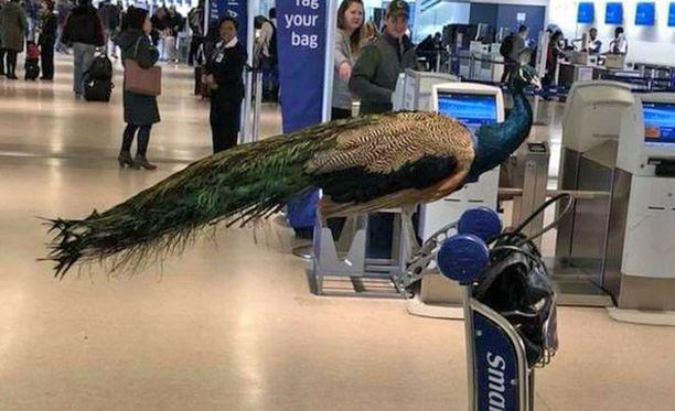 Omistaja kertoi linnun tuovan hänelle lohtua ja siksi hän halusi sen mukaan lennolle.