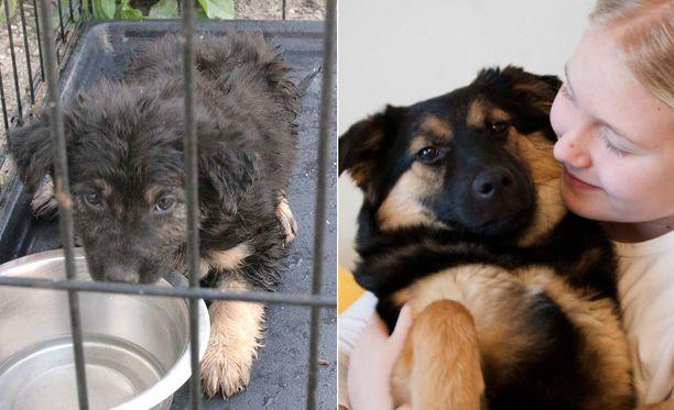 Taika-koira pelastettiin Romaniasta koiratarhalta suomalaisperheeseen.