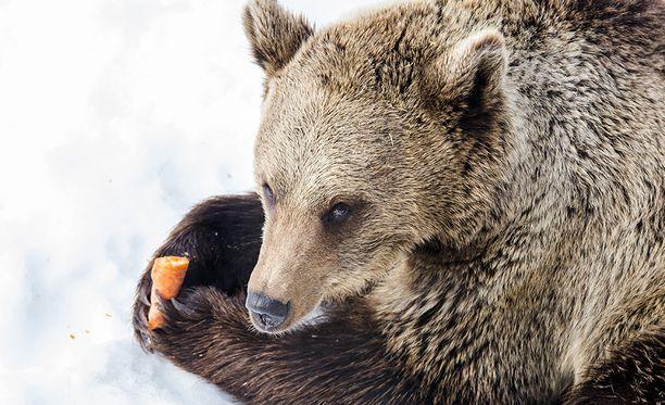 Ranuan eläinpuiston Malla-karhu karistelee unihiekkojaan. Kuva viime keväältä.