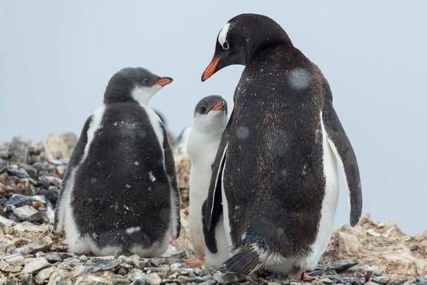 Greenpeace on julkaissut kuvia myös tutkijoiden kohtaamista pingviineistä.