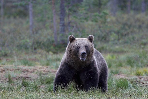 Mikkelissä tehtiin jälleen karhuhavainto. Kuvituskuva.