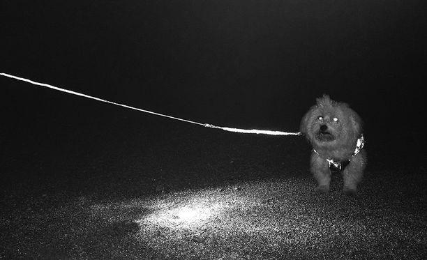 Kokeilimme Volvon Life Paint -heijastinsprayta vanhaan talutushihnaan ja heijastamattomaan koirantakkiin. Heijastinmaali ei näy päivänvalossa, ja sillä voi käsitellä esimerkiksi kengät ja vaatteet.
