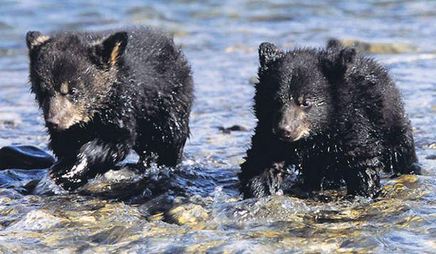 Karhunpentujen elämä on vaarallista.