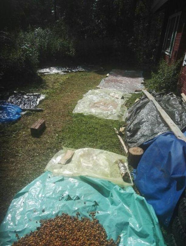 Raakoina poimituista lakoista ja niiden kypsyttämisestä on tehty havaintoja Puolangan eteläpuolella.