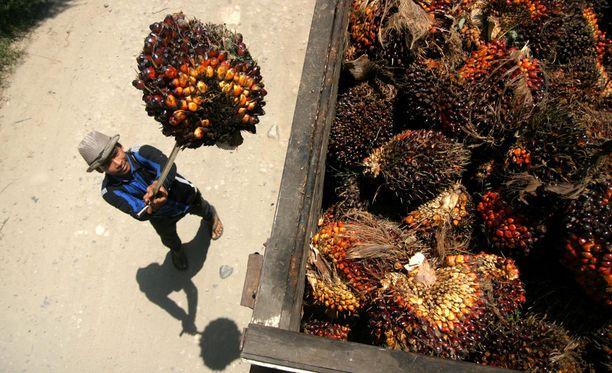Raaka-ainetta palmyöljyn tuotannossa. Kuva Indonesiasta.