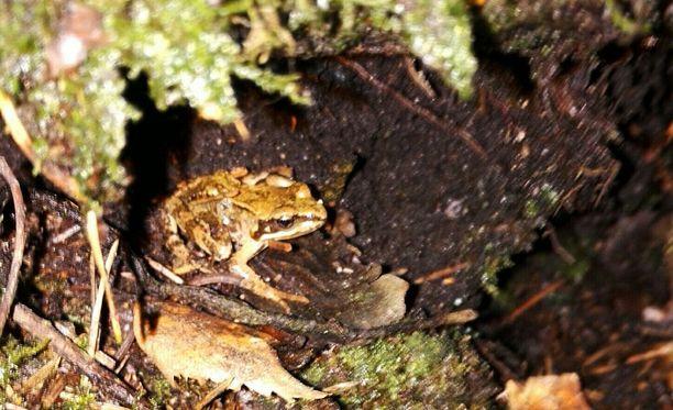 Lukija yllättyi nähdessään horroksesta heränneen sammakon tammikuussa. Horroksestaan herännyt sammakko kuikuili mättään alla Helsingissä.