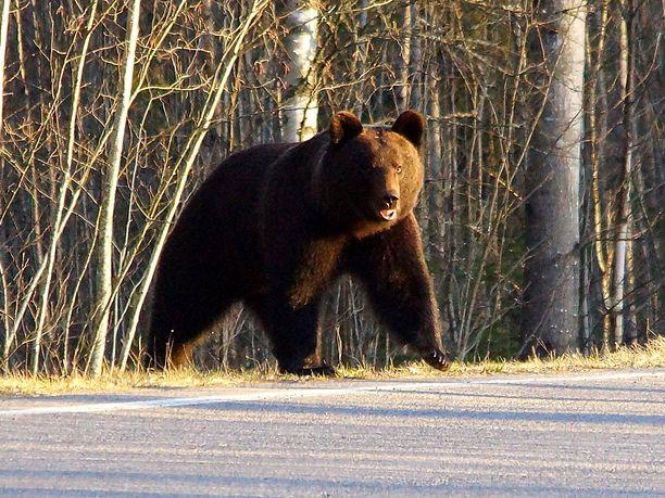 Myös tasavallan presidentin puoliso, rouva Jenni Haukio otti Twitterissä kantaa karhuemon lopettamispäätökseen. Kuvituskuva.
