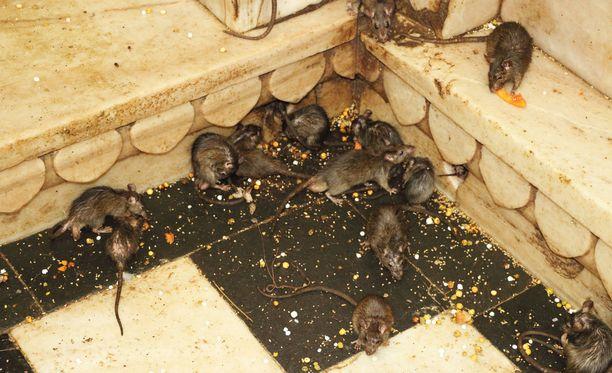 Ruokajätökset ja ylitse tursuavat roskikset houkuttelevat usein rottia luokseen. Kuvituskuva.