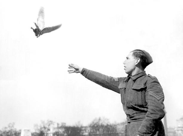 Tämä kyyhky lensi saksalaisten pommilaivueen läpi ja haavoittui pahasti. Sen rinta oli auki, mutta se toi viestin kotiin. Kuvassa kuntoutettu lintu on palaamassa aktiivipalvelukseen huhtikuussa 1941.