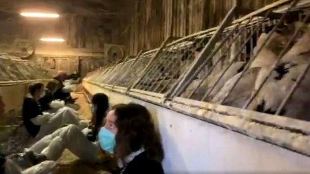 Kesti noin kuusi tuntia ennen kuin eläinaktivistit saatiin irrotettua ankkojen häkeistä.