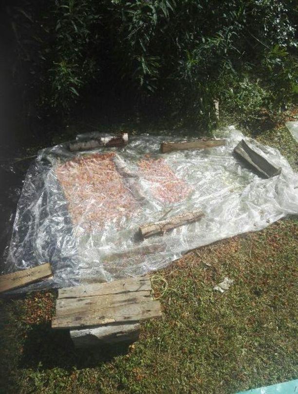 Raakoja lakkoja yritetään paikallisen asukkaan havainnon mukaan kypsytellä muovikääreiden alla Puolangalla.