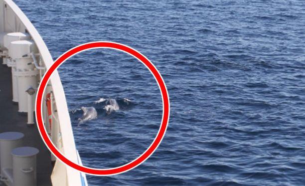 Delfiinit pyörivät Merikarhun ympärillä uudenvuodenpäivänä itäisellä Välimerellä.