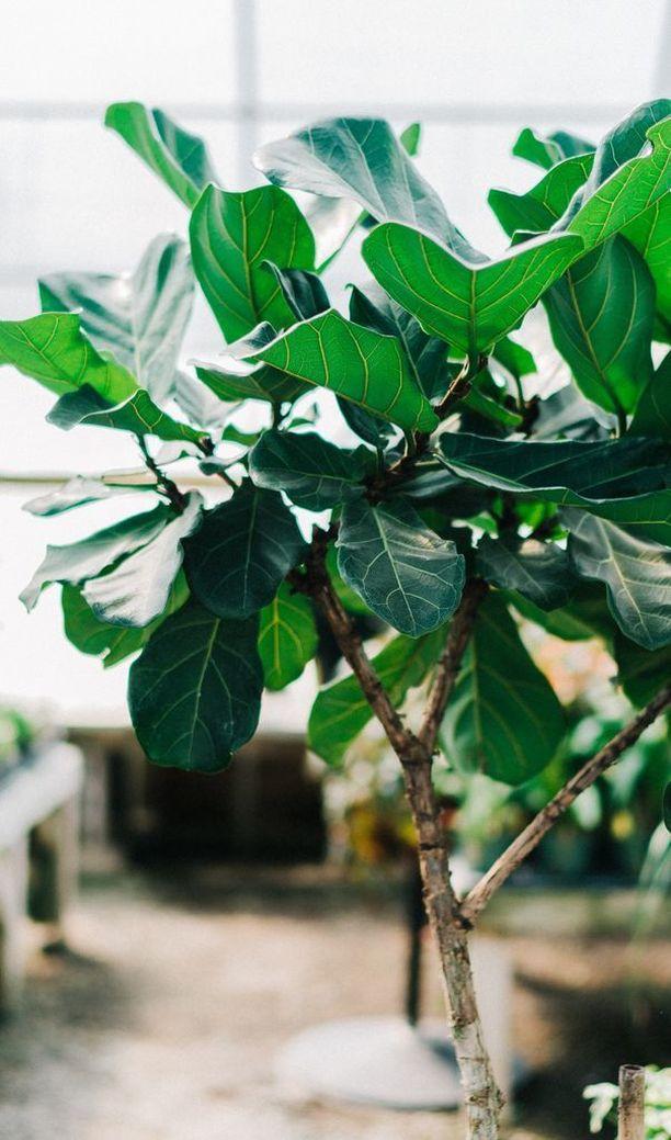 Lyyraviikuna stressaantuu esimerkiksi siirtelystä, mutta se on oikein hoidettuna näyttävä huonekasvi.