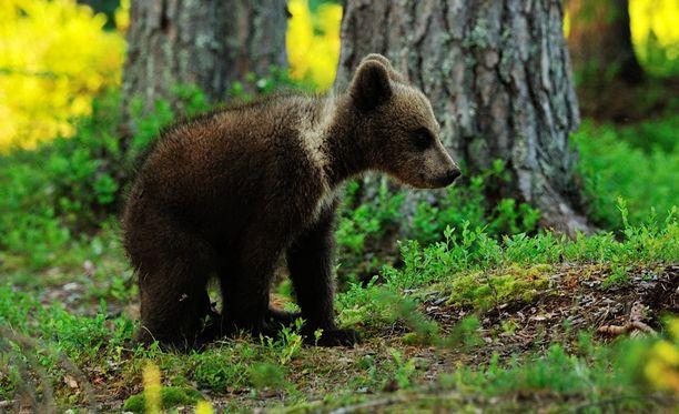 Karhu kuuluu suurimpiin petoeläimiin. Pentuna se on kuitenkin avuton ja tarvitsee emon hoivaa noin puolivuotiaaksi asti.