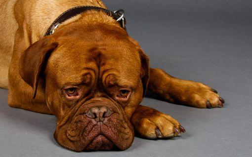 Uudenvuodenjuhlija: Hössötys ja hääriminen paukkuaran koiran vieressä voi lisätä lemmikin ahdistusta