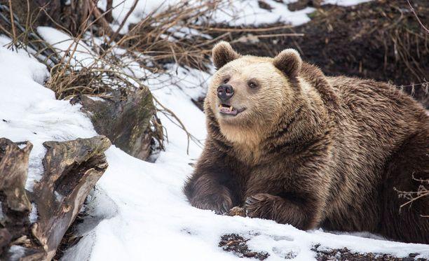 Karhut kömpivät talvipesästään ulos selvästi nälkäisinä.
