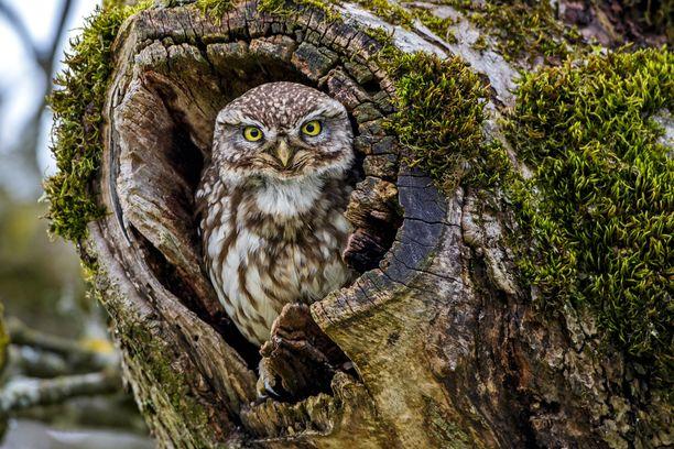 Kuvan pöllö ei liity tapaukseen. Minervanpöllöä tavataan Espanjasta Venäjälle ulottuvalla alueella, Lähi-idässä, Keski-Aasiassa Kiinaa, Koreaa ja Mongoliaa myöten sekä Pohjois-Afrikassa.
