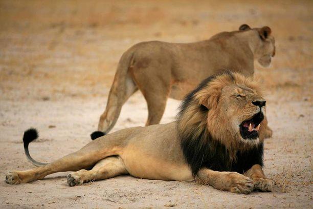 Cecil-leijona (edessä) kuoli laittomasti amerikkalaisturistin käsissä.
