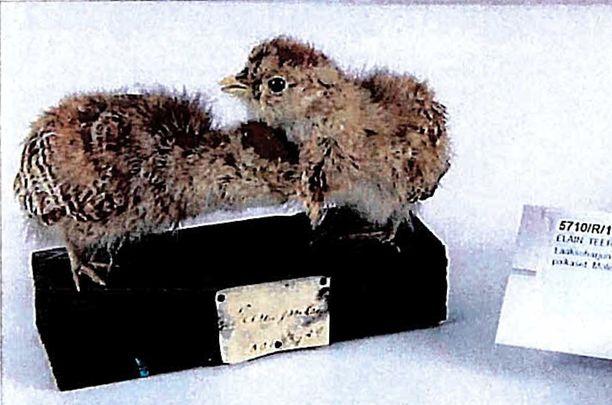 Kuvan kaksi teerenpoikasta olivat osa kiisteltyä lintukokoelmaa. Kokoelmaan kuului muitakin poikasia.