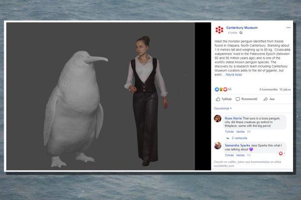 Canterburyn museo julkaisi kuvan siitä, missä mittasuhteissa muinaiset jättiläispingviinit vaappuivat.