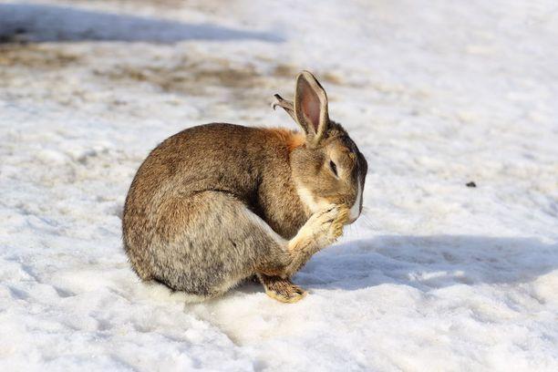 Todistajan mukaan tilan kanit osasivat hakea talvella luolastosta suojaa. Kuvassa eurooppalainen villikani.