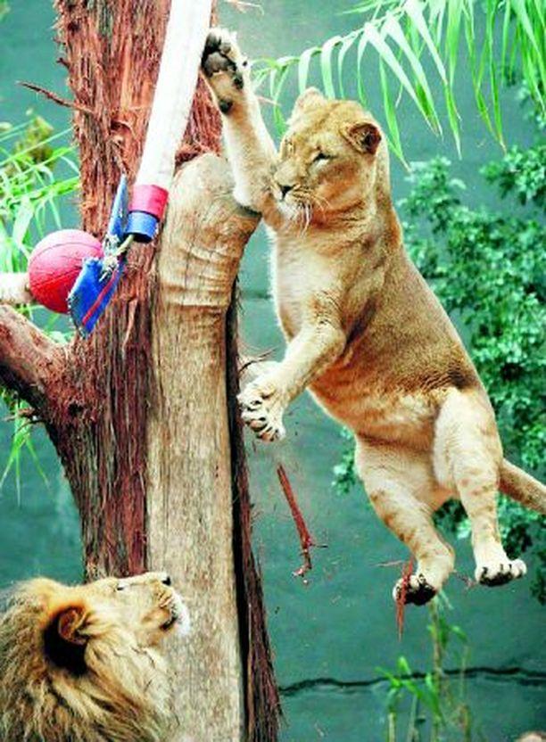 KORISTÄHTI Sydneyn eläintarhan leijonat ovat innostuneet erilaisiin pallopeleihin. Donkkaavan naarasleijonan valmentajana toimii sen isä Jambo.
