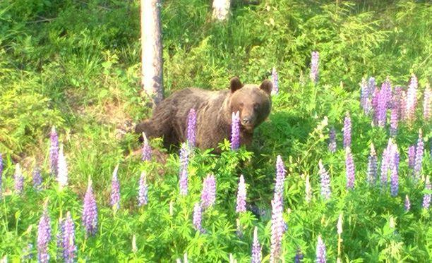 Karhu nautti kesäpäivästä lupiinien keskellä roskia syöden.