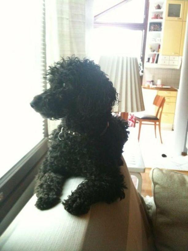 Omistajan mukaan Hilppa-koiran kimppuun hyökkäsi pitpull.