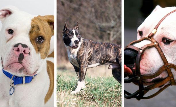 Amerikanbulldoggi, amstaffi ja pitbull ovat olleet osallisina useisiin koirahyökkäyksiin viime aikoina.