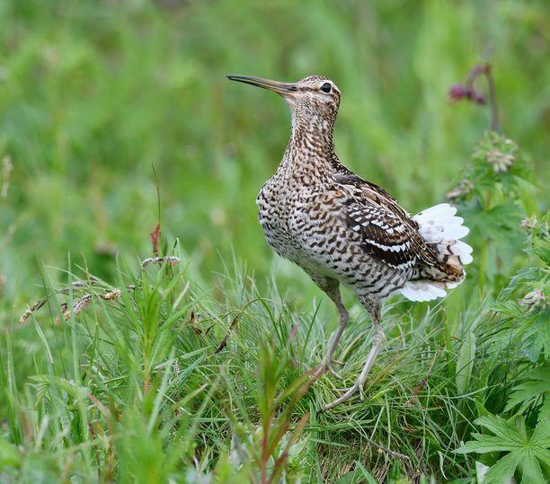 Heinäkurppa on Suomessa äärimmäisen uhanalainen ja pesii vain muutaman parin turvin. Kuvituskuva.