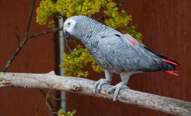 Noin viisikymppinen Paco-harmaapapukaija oli yksi Heinolan lintutarhan suosikeista. Paco menehtyi 28. joulukuuta.