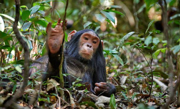 Simpanssit ovat erittäin uhanalaisia.