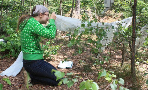 Kenttäkokeissa kasvatetut perhoset sopeutuivat hyvin Suomen olosuhteisiin.