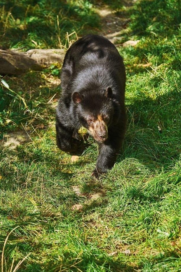 Yleensä karhu välttelee ihmistä.