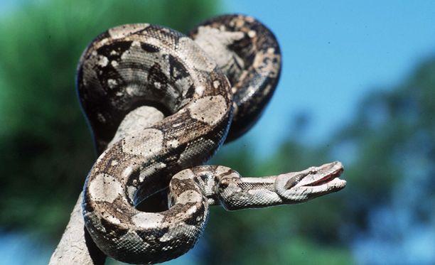 Nainen kertoi omistavansa yli kymmenen käärmettä. Kimppuunsa hyökänneen kuningasboan 45-vuotias nainen oli saanut haltuunsa edellisenä päivänä pelastettuaan tämän.