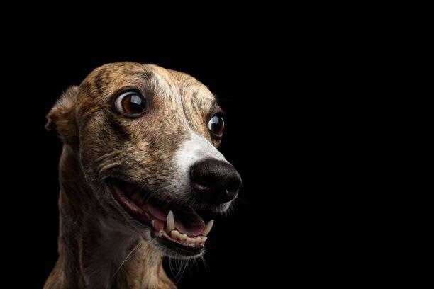 Vinttikoirana whippet tarvitsee kohtuullisesti liikuntaa, mutta on muutoin mitä mainioin seurakoira. Käyttäytymistutkimuksen alustavien tulosten perusteella whippet on muihin verrattuna todella koira- ja ihmissosiaalinen.