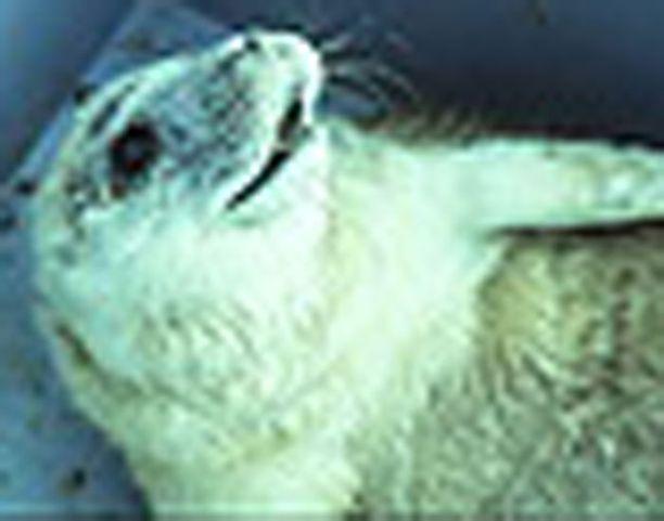 Eero Tikan mielestä luonto ei pahemmin kärsisi, jos uhanalaiset norpat hävitettäisiin kokonaan.