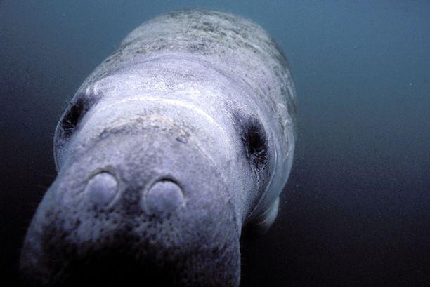 Manaatti (Trichechus manatus) tunnetaan myös nimellä merilehmä.