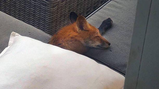 Nukkuva kettu näyttää söpöltä, mutta se voi silti kantaa kapia.
